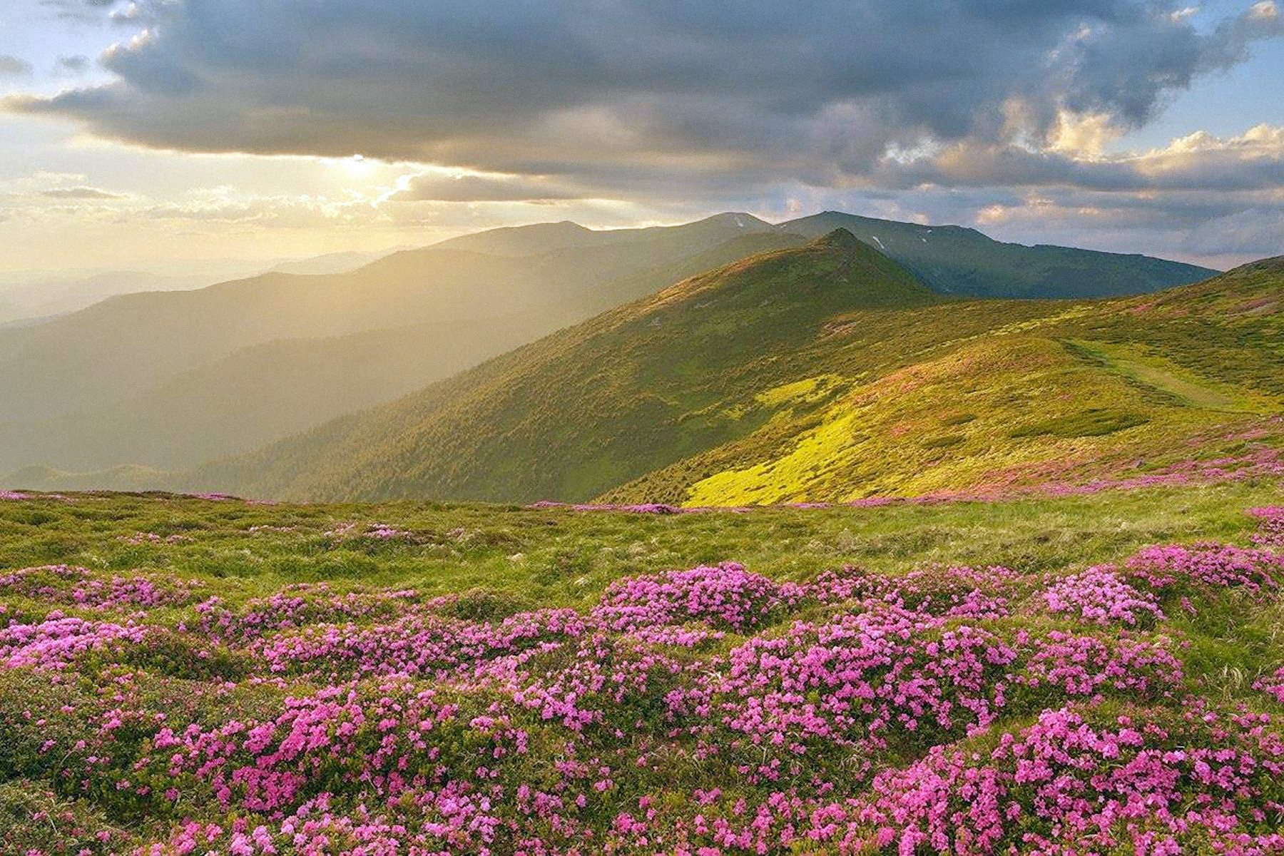 00 Aleksandr Kotenko. Flowering Rhododendron on the Slopes of Chernogorsky Ridge in the Carpathians. 2015