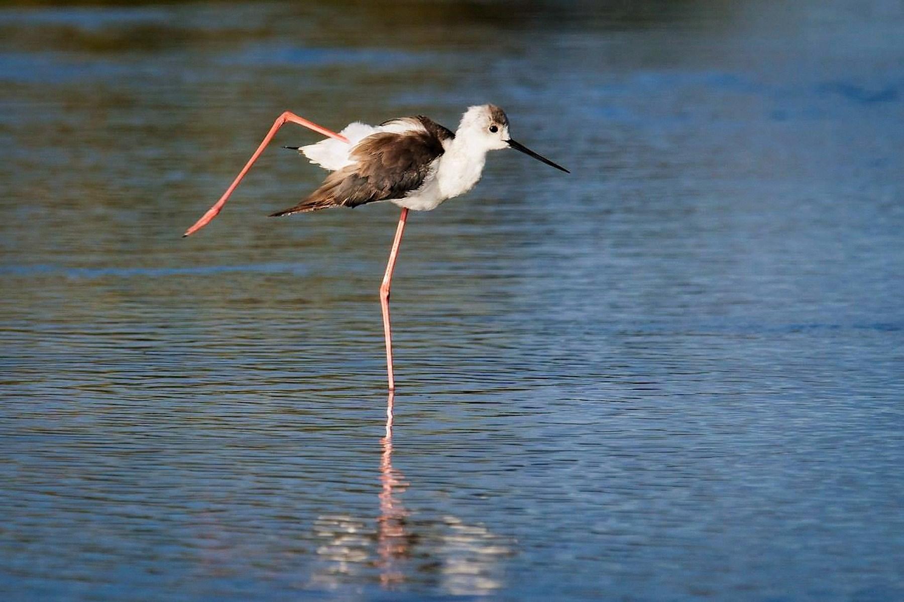 00 Kirill Trubitsyn. The Dancer. Black-Winged Stilt. Serengetti National Park Tanzania. 2015