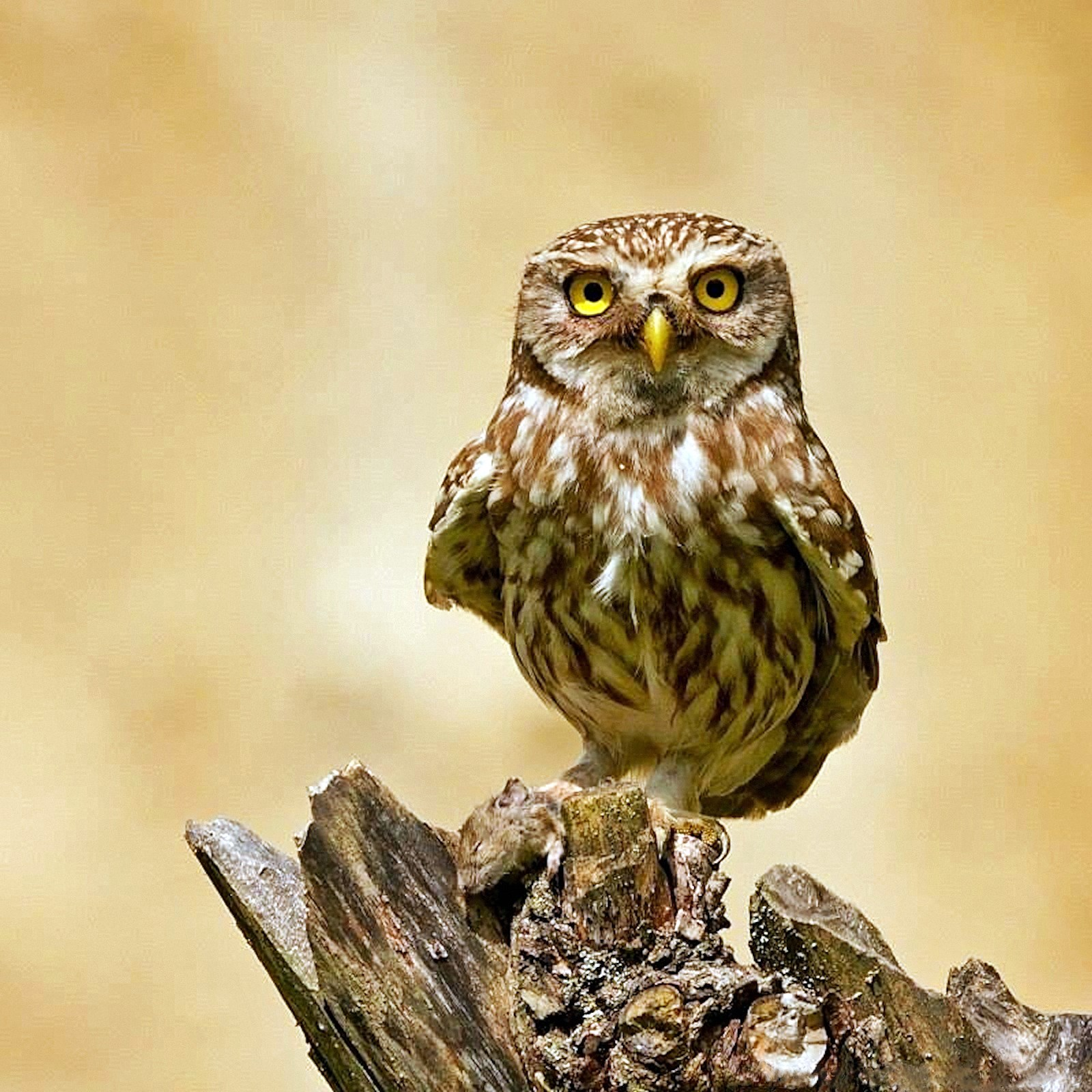 00 Tatyana Zherebtsov. A Llittle Owl (Athene noctua). 2015
