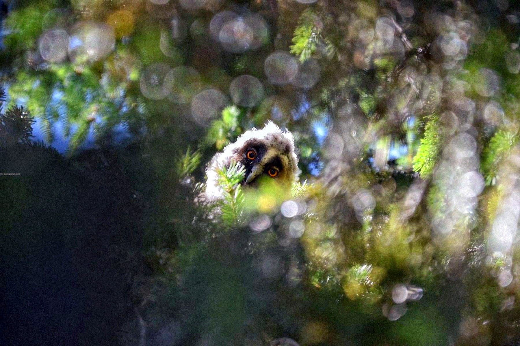 00 Renat Karimov. Owl near the Village in Tatarstan. 2015