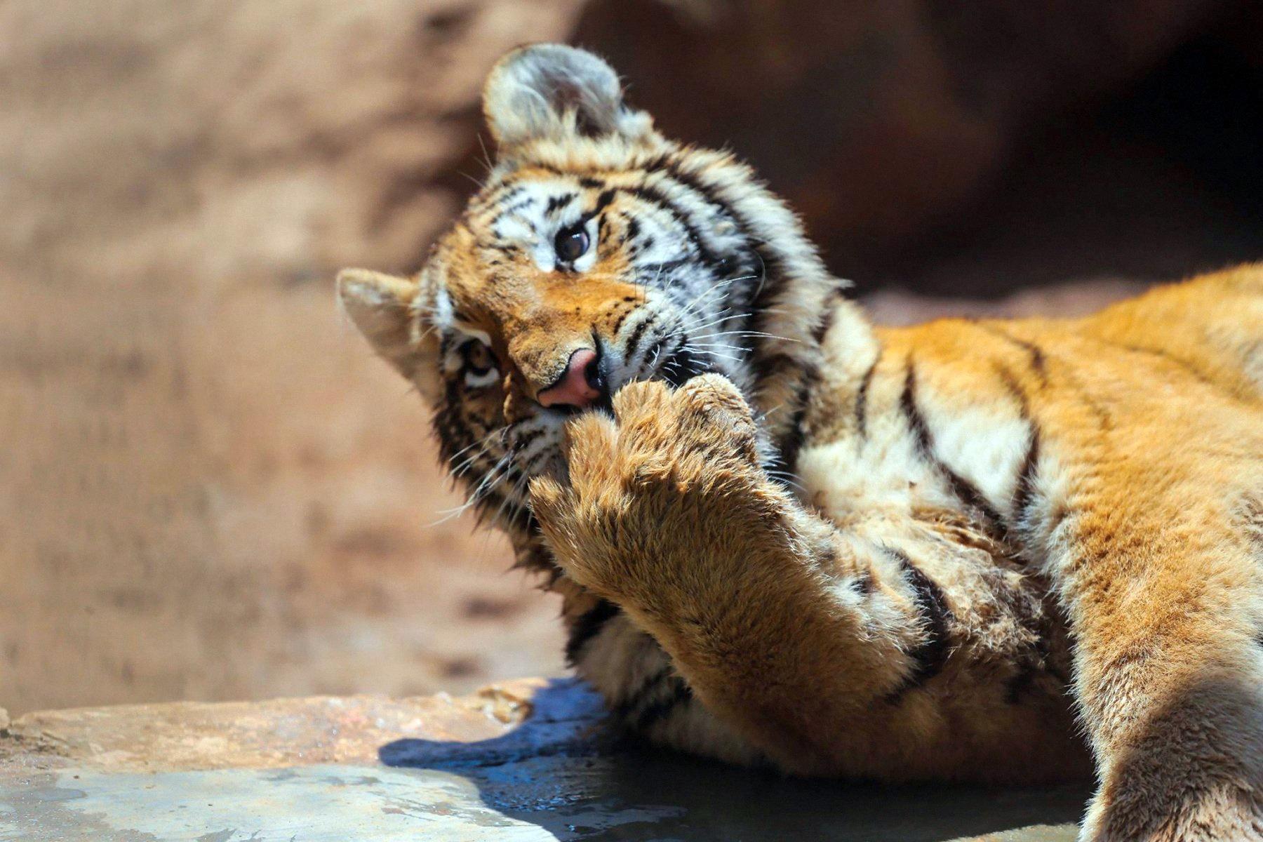 00 Valery Ryabov. Big Cat. 2015